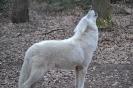 Polarwolf Heulend