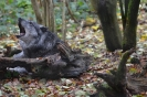Timberwolf Heulend