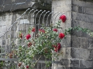 Rose am Kölner Dom